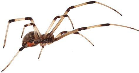 Brown Widow Spiders Invade Southern California Displaces