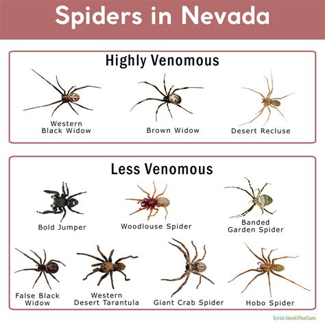 Spiders in Nevada: List with Pictures