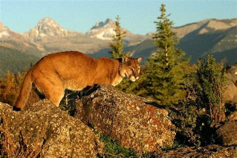 Wild Cougar in Morning Light - Feline Facts and Information