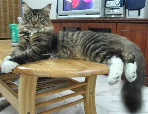 Maine Coon - Wiktionary